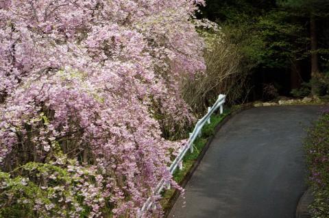 シダレ桜H26年